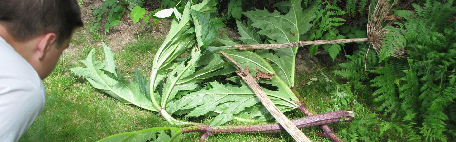 Giant-Hogweed-2008-032_photo