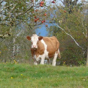 cow-in-field_photo