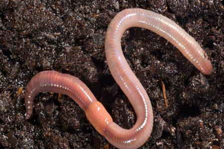 worm comp.